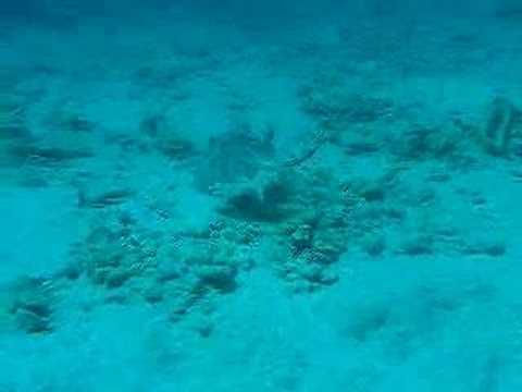 Rochen, Bonaire,Niederländische Antillen