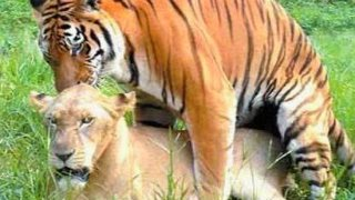 Animals Mating - LION TIGER Love