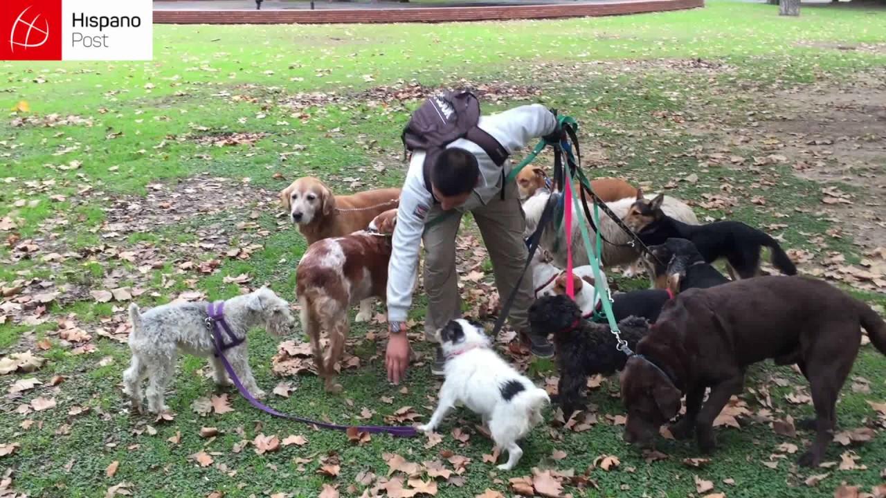 Disciplina y diversión: Un argentino se gana la vida paseando perros