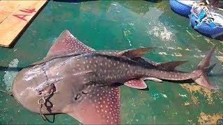 BIG! Manta Ray Fish Caught - Kadal Tv