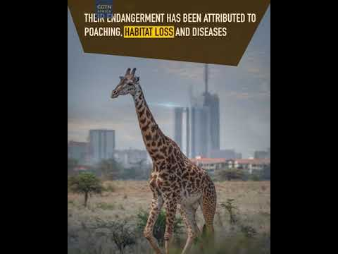 Giraffes Facing Extinction