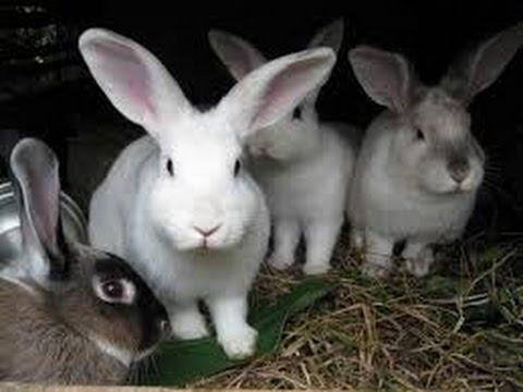 Curso crianza de conejos