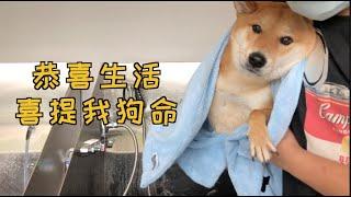 戏精柴犬被主人骗去洗澡 气得都快说人话了!