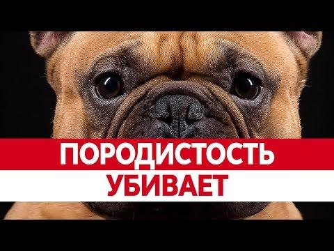 Чем плохи ПОРОДИСТЫЕ СОБАКИ? Болезни собак и их особенности
