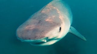 YBS Lifestyle Ep 23 - TIGER SHARKS FEED ON WHALE CARCASS