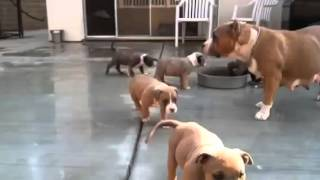 American Bully Pitbull puppies for sale - 7 weeks