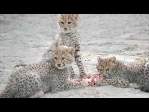 Vier jonge Cheetahs en Moeder - Zoo Parc Overloon