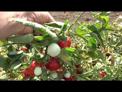 Крым Выращивание помидор в открытом грунте  24 августа 2017