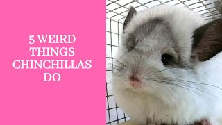 5 Weird Things Chinchillas Do, What Owning A Chinchilla Is Really Like