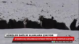 Keçi sürülerinin kar üzerindeki yürüyüşü