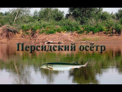 Русская Рыбалка 3.99 Персидский осетр