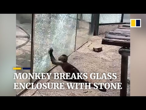 Monkey Tries to Escape Zoo by Breaking Glass