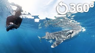 Swimming with the Whale Sharks 360 Video