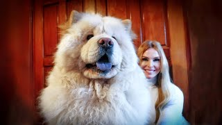 THE CHOW CHOW DOG - Fierce Or Friendly? 松狮犬