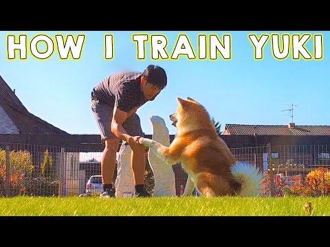 AKITA INU - How I Train My Japanese Akita   Dog Training   秋田犬