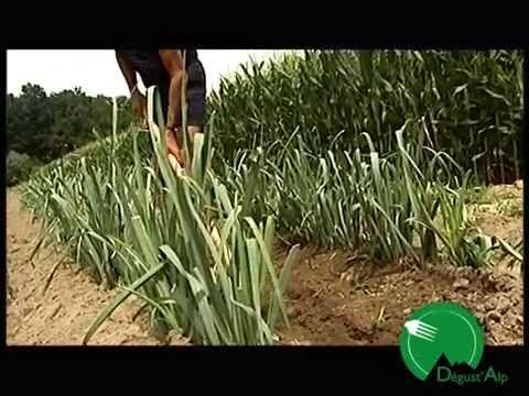 Benefici di aglio prostatite danno