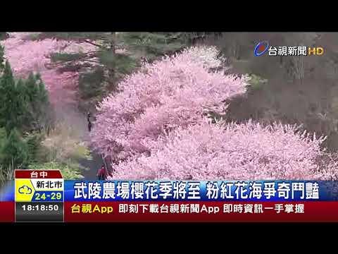 武陵農場櫻花季將至粉紅花海爭奇鬥豔