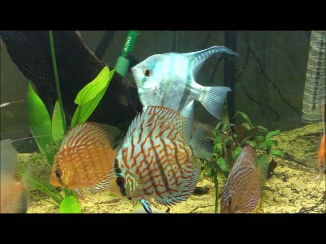 aquarium 600 litres (discus et scalaire) (my 600 litres 158 gallons discus tank)