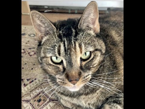 Hazel, an adopted Domestic Short Hair in Greenburgh, NY_image-1