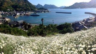因島の除虫菊