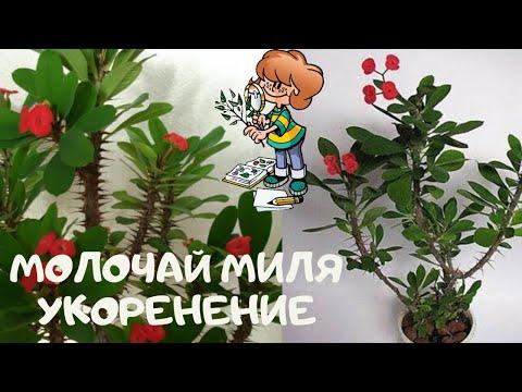 Как укоренить комнатное растение молочай  прекрасный .Эуфорбия Миля (Euphorbia speciosa).Часть 1-я
