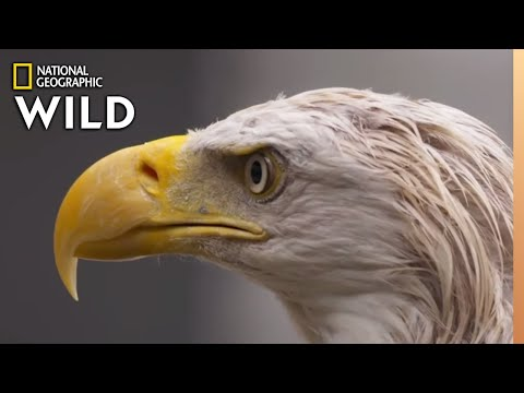 A Bald Eagle's Road to Recovery | Alaska Animal Rescue