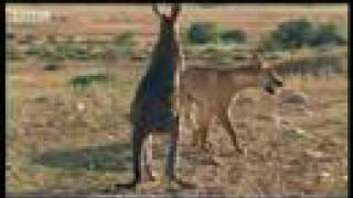 Wallaroo - Encounter with Dingo