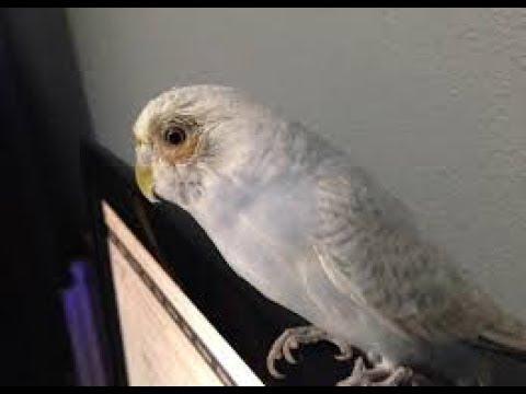 Muhabbet Kuşlarında Göz Nezlesi Belirtileri Ve Kesin Tedavisi