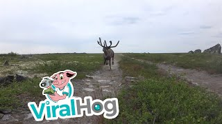 Reindeer Charges at Hiker in the Tundra || ViralHog