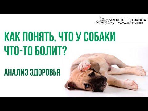 Как понять, что у собаки что-то болит? Анализ здоровья собаки самостоятельно