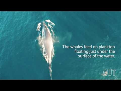 Rare whale footage shot by drone thanks to AUT scientists (2016)