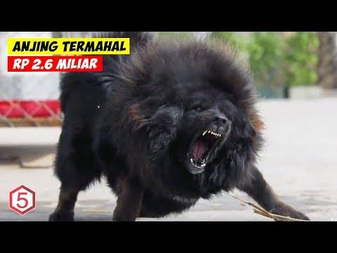 Anjing Termahal Di dunia , Harganya ada Yang Sampe Rp 2.6 Miliar