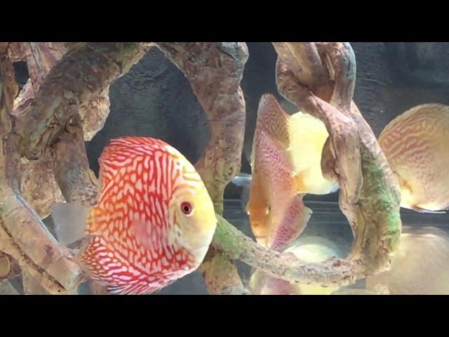 New discus fish