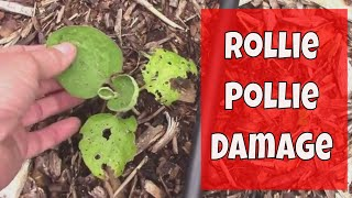 How We Protect Young Seedlings From Rollie Pollie Damage, AKA Pillbugs