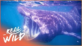 Mystery Of The Great Basking Shark! | Weird Creatures | Wild Things Documentary
