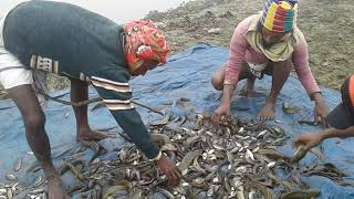 Awesome Village Young Fisherman Catch Million Of Fish 2018