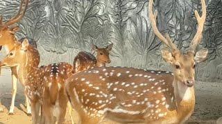 Deer At Shopnopuri Artificial Amusement Park Mini Zoo.
