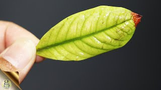 Identify The Leaf Yellowing Pattern & Treat Nutrient Deficiency With The Best Fertilizer