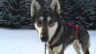 preview picture of video 'ALASKAN TEAM - traineau à chiens'