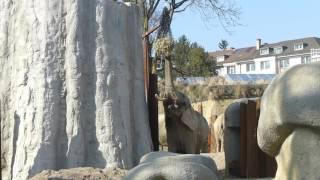 スイス発 バーゼル動物園でゾウが餌を食べてます!2【スイス情報.com】