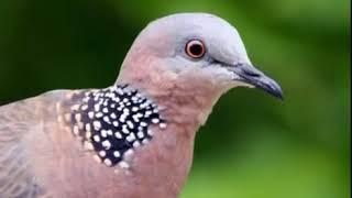 Suara Burung Tekukur Bersih Cocok Untuk Pikat