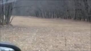 Il filme un loup qui attaque une biche tout près des