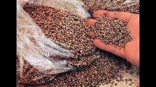Семена конопли в прикормке для ловли карпа