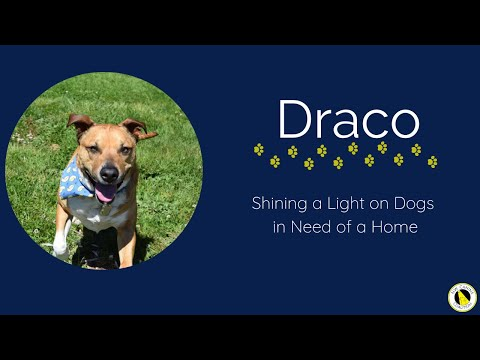 Draco, an adoptable Terrier in Silverdale, WA_image-1