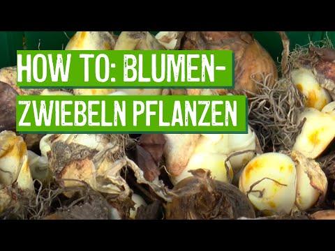 Blumenzwiebeln richtig pflanzen - Der Grüne Tipp