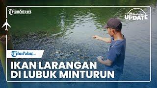 TRIBUN TRAVEL UPDATE: Mengintip Ikan Larangan di Lubuk Minturun Padang