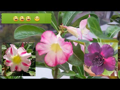 Гадкий утенок)  Цветение сеянцев Адениума