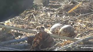 ORI's action at the Osprey nest