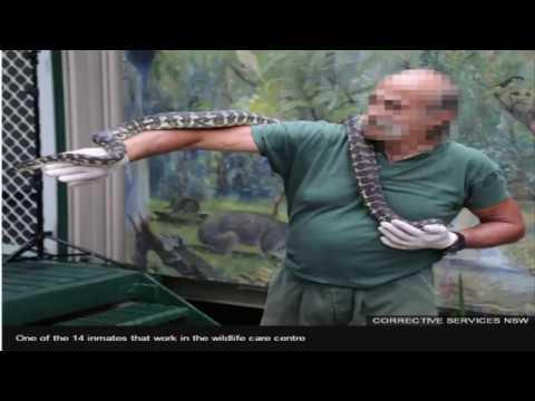 Drug addicted python rehabilitated by Australian prisoners