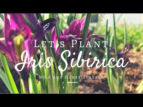 How To Grow Siberian Irises (Iris Siberica) Gardening